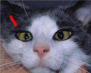 Horner Syndrom Katze